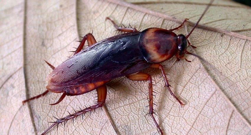"""""""Очень живучий вредитель"""": пятисантиметровые летающие тараканы появились в Сочи"""